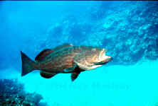 Photography of BelizeYellow Mouth Grouper
