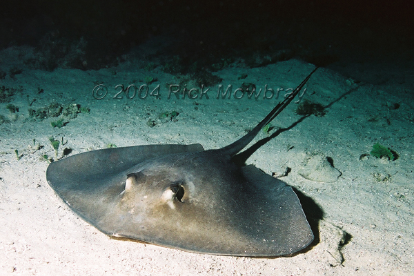 Photography of belize for Is a stingray a fish